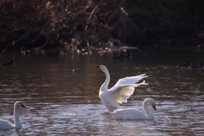 越辺川の白鳥