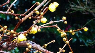 淡路島へ1泊2日の旅(26完) 西宮市大谷記念美術館の蝋梅。