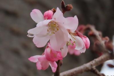 曇天の寒い日に清楚に咲いていた冬桜