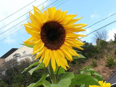冬に咲くひまわりとイルミネーション@令和初めの年末年始も天草で過ごす【2】