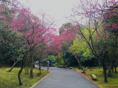 陽明山での花見と北投温泉