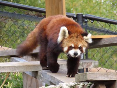 作成中 かみね動物園 アクティブなベテランとアンニュイな若手・・・とても対照的な2組の神峰レッサー