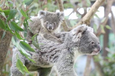 新春2020年・埼玉こども動物自然公園(午前編)コアラのトリプル赤ちゃんに会いたい~エサやりヤギやなかよしコーナーからオーストラリアの鳥まで
