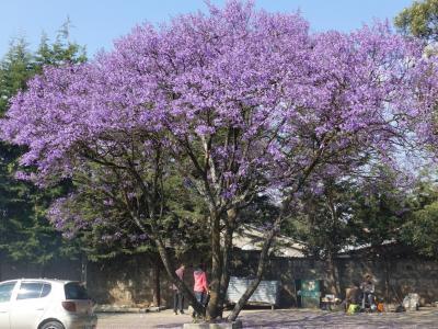 2020新春エチオピアその1~名残のジャカランダ咲くアディスアベバ