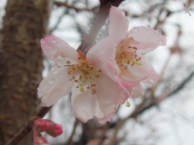 寒い雨の日の冬桜
