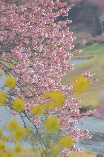 一足早い春の訪れ南伊豆の河津桜