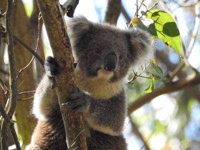 2019-2020 メルボルン周辺(8)グレートオーシャンロードその2 野生のコアラ