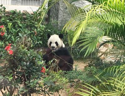 マカオ:1月はパンダに会いに