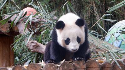 2020年1月頑張ろう欧米亜!海南省広東省マカオ縦断横断7・亜級最大パンダ・サファリ園を童心で楽しむ