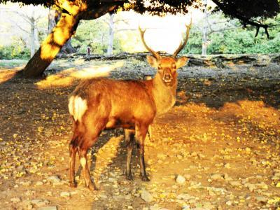 ドハマリしてる奈良で奇跡の雄鹿に出会った~ 令和元年12月1日