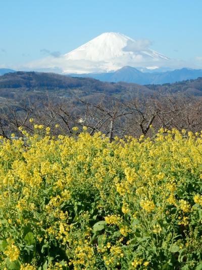 「 絶景 富士山! 吾妻山 菜の花ウォチング 」 2020