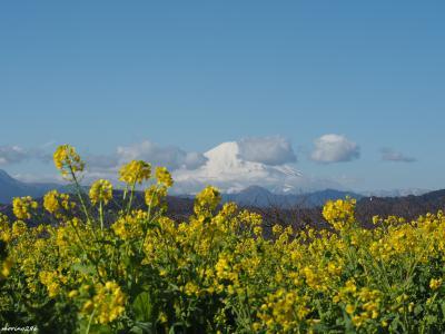 2020 早咲きの菜の花と富士山ウォッチング@吾妻山