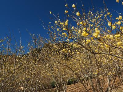 里山に甘い香り漂う 寄ロウバイ園