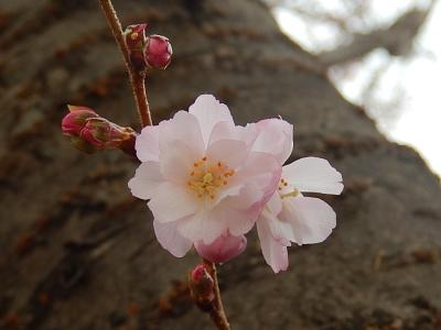 寒い曇天の日の冬桜を見る