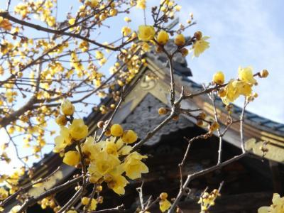 「雷電神社」のロウバイ_2020_7~8分咲きで、見頃です。(群馬県・板倉町)