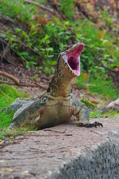 ルンピニ公園にミズオオトカゲを見に行く