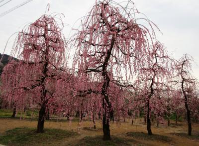 2019年2月 関東3日目 その2 曽我梅林の別所会場で紅白の梅を楽しみました。