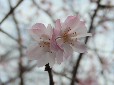 美しく清楚に咲いていた十月桜