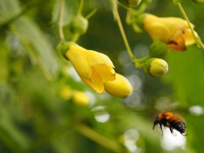 六甲高山植物園でキレンゲショウマ鑑賞