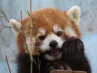 夢見ヶ崎動物公園&上野動物園  お仕事前に少しだけ夢見ファミリーに会いに、そして、少し前の上野シャンシャン