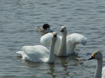 食後も元気に大きな声をあげているクッチャロ湖のコハクチョウさん!