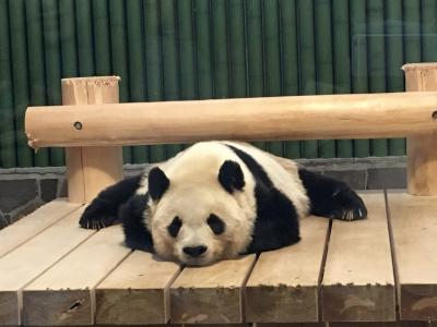 2020パンダ鑑賞記録☆2月は日本列島横断パンダの旅☆神戸王子動物園