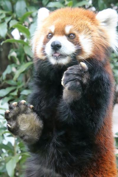 天王寺と福知山レッサーパンダ詣2020(3)天王寺動物園(前編)レッサーパンダとホッキョクグマいろんなクマたち~食事タイムも見られた!