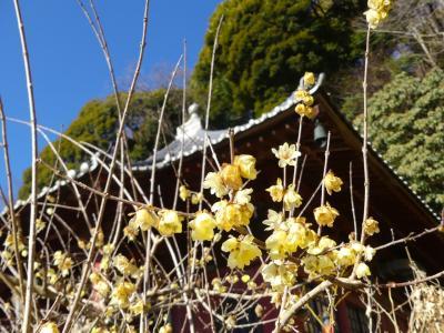 「清水寺(せいすいじ)」のロウバイ_2020_見頃は過ぎていました。(栃木県・栃木市)