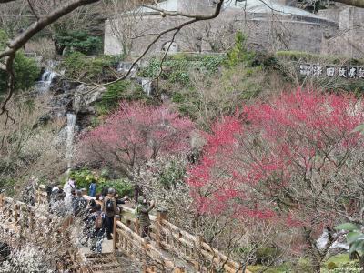 日本一早咲きの梅@第76回熱海梅園梅まつり