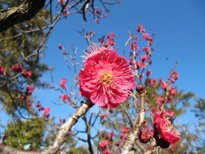 池上梅園は暖冬で只今四分咲き!