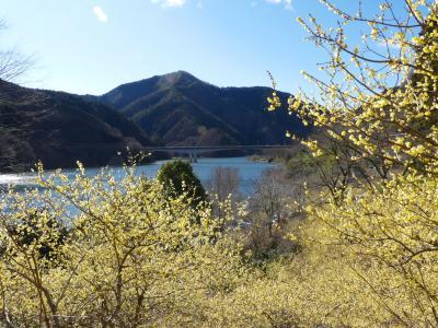 「梅田湖ロウバイパーク」のロウバイ_2020_綺麗に咲き揃って、見頃でした(群馬県・桐生市)