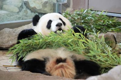 2020年もアドベンチャーワールドで3ヶ月ぶり(5)ジャイアントパンダやいろんな動物たち:大型犬サイズしかないミニチュアホースの赤ちゃん