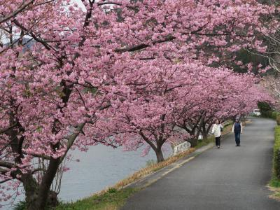 ☆西伊豆夕景と河津桜(①新型コロナウイルスのこと)