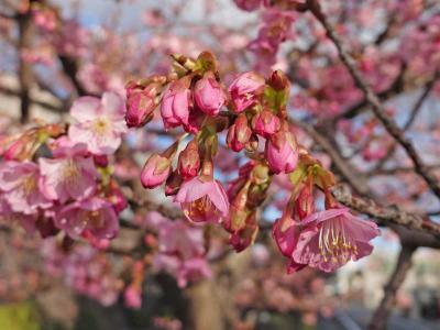 小潤井川の河津桜 2020.02.02