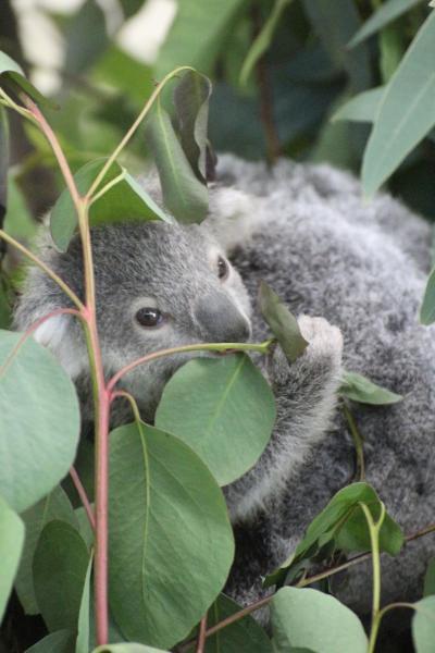 赤ちゃんたちが待つ2月晴れの埼玉こども動物自然公園(前編)キボシイワハイラックスやコアラのトリプル赤ちゃん!~ハニーっ子はシャイで顔見えず
