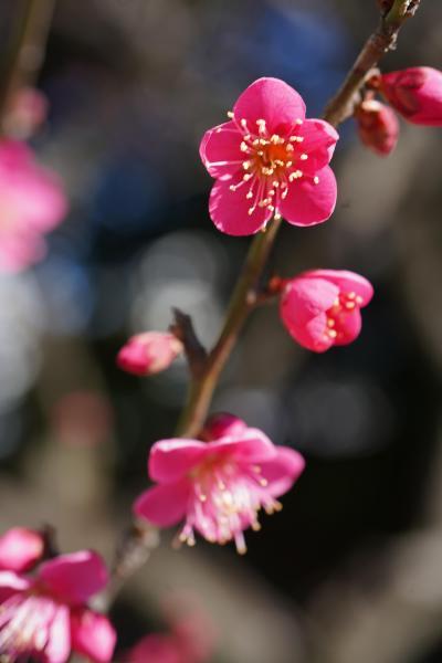 20200206-2 浜離宮庭園 梅咲いてます。菜の花咲いてます。
