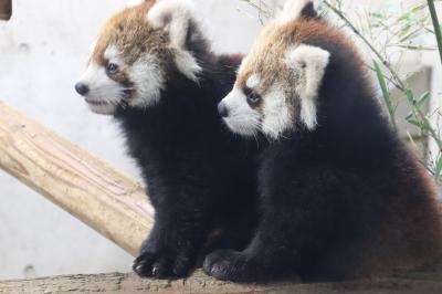 赤ちゃんたちが待つ2月晴れの埼玉こども動物自然公園(後編)カピバラ温泉からハートのペンギン:レッサーパンダの双子の屋外デビューが待ち遠しい