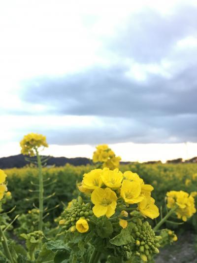 岡山☆笠岡ベイファームの菜の花畑