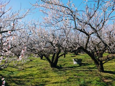 早咲きの梅が満開の曽我梅林と早咲き菜の花が咲く吾妻山公園に行って来ました。