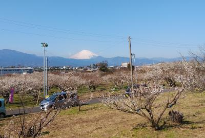 曽我・別所梅林と国府津山の桜