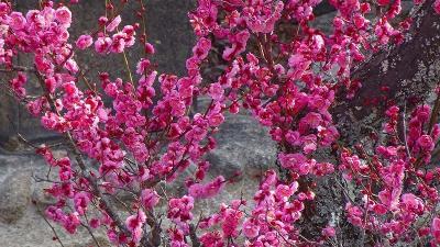1週間前に散歩した時の桜を探して、開花状況を確認しに行きました 上巻。