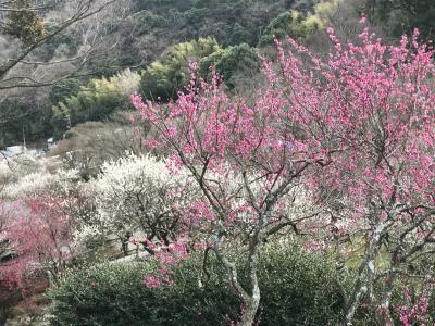 花を求めて⑮熱海 梅園散歩と熱海桜を探して