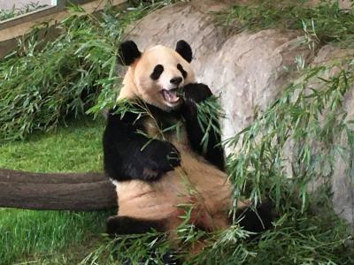 2020パンダ鑑賞記録☆2月は日本列島横断パンダの旅☆南紀白浜アドベンチャーワールド1