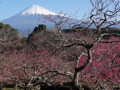 """自転車でGO! 梅が咲いた岩本山公園 2020.02.05 =""""絶景★富士山 まるごと岩本山""""="""