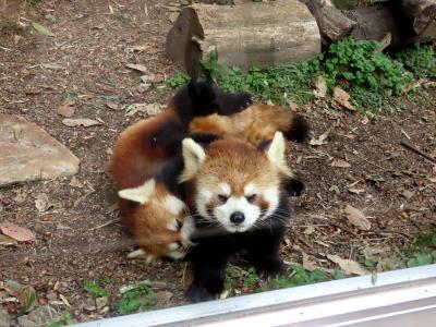 作成中 池田動物園  今年こそ!!期待通りのココロ君の活躍!!しずくちゃんのママ姿を切望するファンの夢を叶えてくれ!!