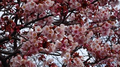 1週間前に散歩した時の桜を探して、開花状況を確認しに行きました 中巻。