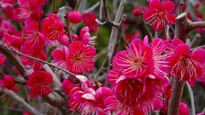 1週間前に散歩した時の桜を探して、開花状況を確認しに行きました 下巻。