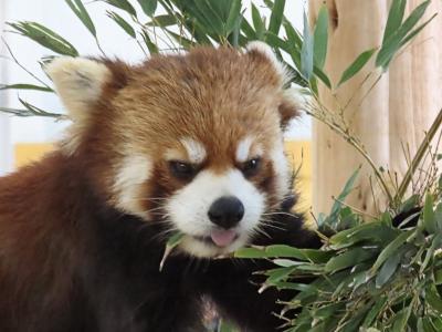 豊橋総合動植物公園のんほいパーク 全くの嬉しい想定外!!豊橋のんほいパークでレッサーの展示!!ついに東海3県にレッサーパンダが復活です!!