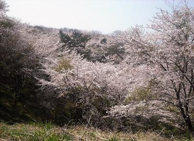 2019年4月 山口県・山陽小野田市 竜王山に2回目の花見に行きました。満開でした。