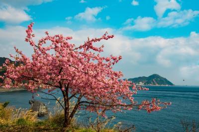 四浦半島の河津桜 2020